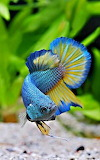 Most-beautiful-fish-7