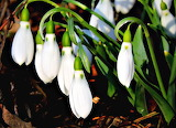Dropletts of Snow Flowers Michigan USA