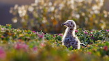 Western gull chick.Channel Islands National Park.CA