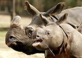Funny rhinos