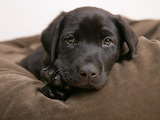 Baby-labrador
