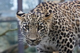 2749120-close-up-of-face-and-torso-of-beautiful-spotted-leopard