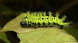 "Insects ""Spiny Caterpillar"" ""Molippa flavodiosiana, flavopiurica"