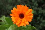 Souci / Marigold