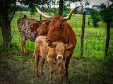 Longhorn, calf, cattle, nature, fence