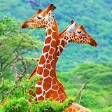 Two Giraffes...