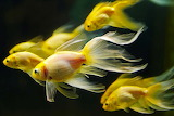 Grupo-KC175-animales-underwater-peces-de-colores-peces-de-oro-sa