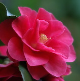 ^ Camellia macro photography, pink flower, petals