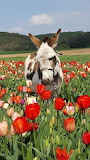 Donkey in field of tulips