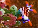 "Science Nudibranch ""Nembrotha purpureolineata"""