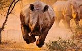 #African Rhinoceros
