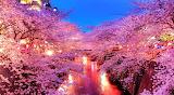 Meguro-river-spring-in-japan