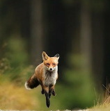 Animals tumblr mohnbloomsworld fox 1