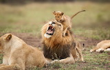 The young lion cub makes dad angry