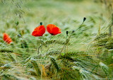 red poppies in the grain