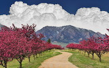 mountains and blooming trees