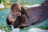 Animals tumblr montereybayaquarium Otters