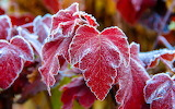 Red-leaves-frost-cold 1920x1200