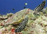 Hawksbill Sea Turtle~ Palau