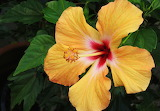 Sunny yellow Hibiscus credit Gardening Know How 2112x1472