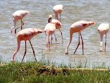 Flamingos ~ Lake Nakura