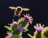 Flowers - Bumble Bee