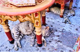 Sleeping cats under tables Morocco