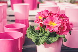 Primroses, flowers, pots, pink color