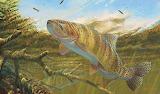 Cuttroat-trout-