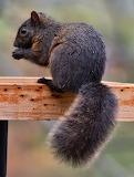Eastern Grey Squirrel (Black Phase)