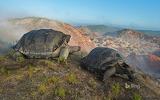 Giant tortoises on Alcedo Volcano in the Galápagos Islands