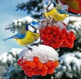 Синички на рябине зимой