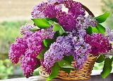 Basket of Lilac Flowers