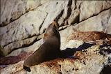New Zealand - Seals - On the rocks11