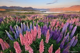 Lupins in bloom (New Zealand)