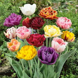 ^ Colorful double tulips