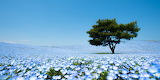 Nemophilas-field-hitachi-seaside-park