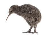 Kiwi-alimentacion