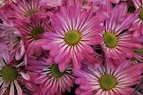 Marguerite (Bellis perennis) flower