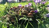 Mushrooms and crocuses