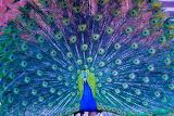 #Colorful Peacock