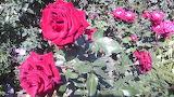 Розы в моем саду