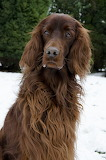 Cool Off with a Snowy Irish Setter