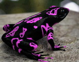 Clown Frog- Costa Rican Variable Harlequin Toad