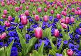Tulips-flowers
