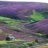 Purple heather on the Scottish borders