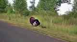 Wild Turkey Sighting on Route 66