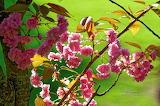 Normal Fleurs-de-cerisier-au-printemps