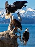 Bald Eagles galore