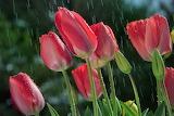 pink tulips under the rain